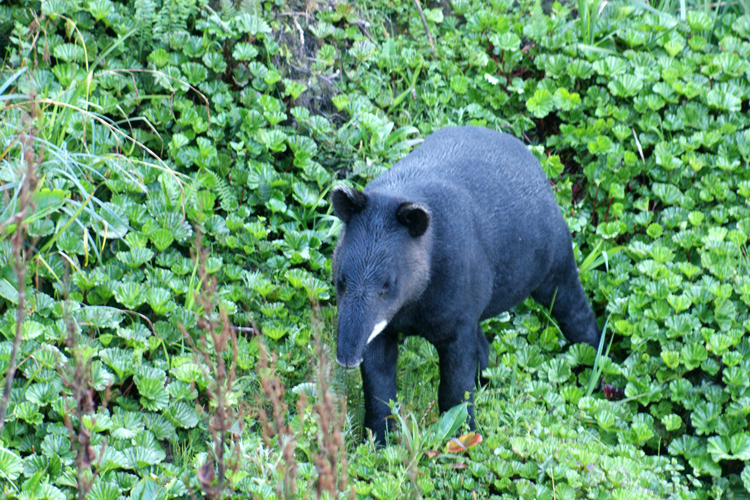 Image result for Tapirus pinchaque