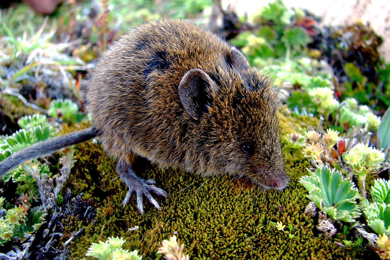 Image result for ratón musaraña de los Andes (Caenolestes obscurus)